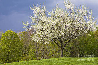 Springtime Blossoms Art Print by Alan L Graham
