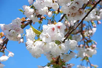 Springtime Blossoms Art Print