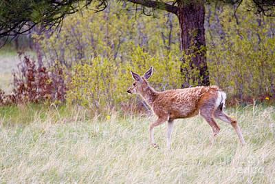 Steven Krull Royalty-Free and Rights-Managed Images - Springtime Deer by Steven Krull