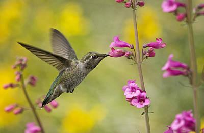 Photograph - Springtime Hummingbird  by Saija  Lehtonen