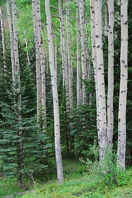 Photograph - Springtime In An Aspen Forest by Cascade Colors