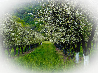 Bill Galagher Photograph - Springtime In The Orchard by Bill Gallagher