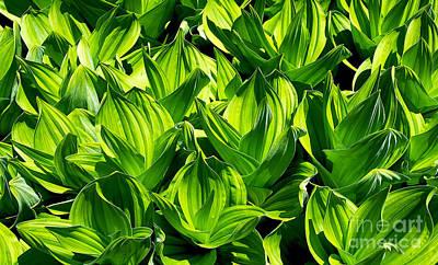 Photograph - Springtime Lush Green Corn Lilies In A Colorado Mountain Meadow by Jerry Cowart
