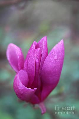 Photograph - Springtime Magnolia Blossom by Ella Kaye Dickey