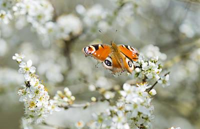 Photograph - Springtime Peacock by Steven Poulton