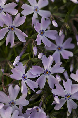 Photograph - Springtime Phlox by Andrew Pacheco