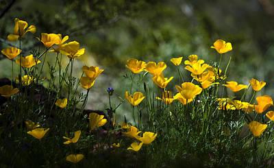 Springtime Poppies  Art Print by Saija  Lehtonen