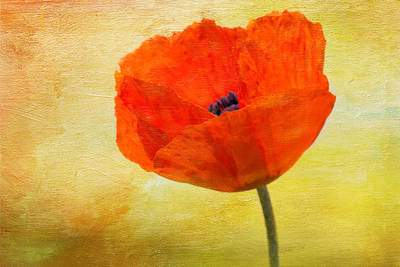 Springtime Poppy Beauty Art Print