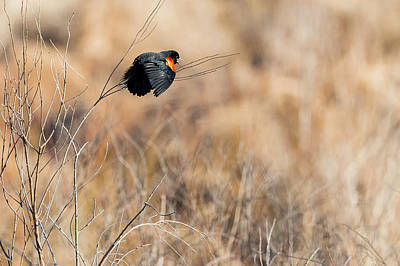 Blackbird Photograph - Springtime Song by Bill Wakeley