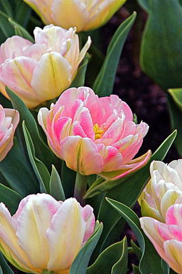 Photograph - Springtime Sprites -- Parrot Tulips by Byron Varvarigos