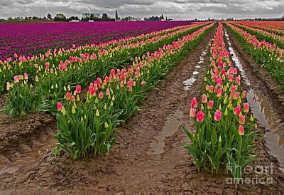 Photograph - Springtime Tulip Field - Skagit Valley Wa by Valerie Garner