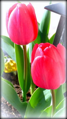 Photograph - Springtime Tulips by Kay Novy