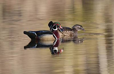 Photograph - Springtime Wood Duck Pair by John Dart