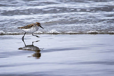 Photograph - Sprinting Piper by Sonya Lang