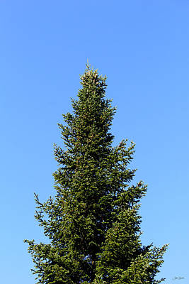Quebec Photograph - Spruce And Blue Sky by Julien Boutin