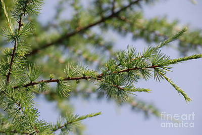 Photograph - Spruce Branch by Mark McReynolds