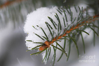Winter Light Photograph - Spruce Branch With Snow by Elena Elisseeva