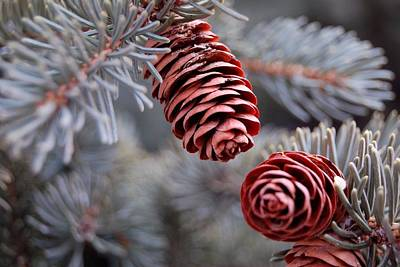 Photograph - Spruce Cone Closeup by Dakota Light Photography By Dakota