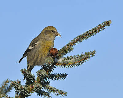 Crossbill Photograph - Spruce Cone Feeder by Tony Beck