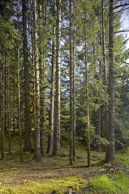 Spruce Tree Forest In Autumn, Kodiak Art Print by Kevin Smith