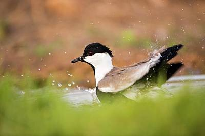 Lapwing Wall Art - Photograph - Spur-winged Lapwing Vanellus Spinosus by Photostock-israel/science Photo Library