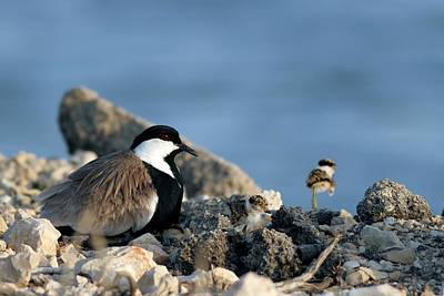 Lapwing Wall Art - Photograph - Spur-winged Plover And Chick by Photostock-israel/science Photo Library