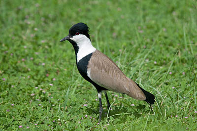 Lapwing Photograph - Spur-winged Plover by Nigel Downer