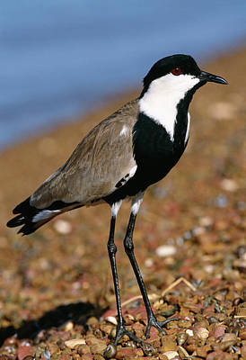 Lapwing Wall Art - Photograph - Spur-winged Plover by Tony Camacho/science Photo Library