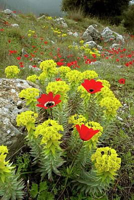 Spurge Photograph - Spurge And Peacock Anemones In Flower by Bob Gibbons