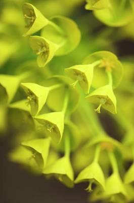 Spurge Photograph - Spurge (euphorbia Characias) by Maria Mosolova