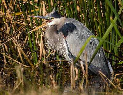 Photograph - Squaking Blue Heron by Gregory Daley  PPSA