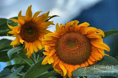 Photograph - Squamish Sunflowers by Adam Jewell