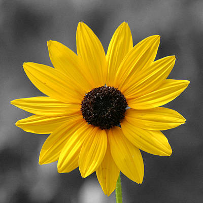 Photograph - Square Blackeyed Susan 24x24 by Pete Federico