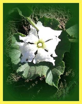 Squash Blossom Flower  Original
