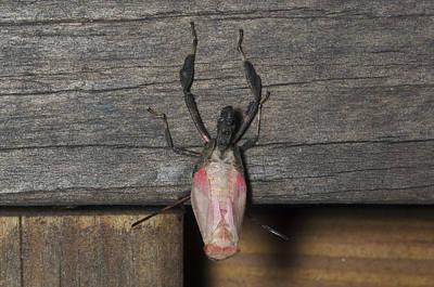 Photograph - Squash Bug Nymph Molting by John W. Bova