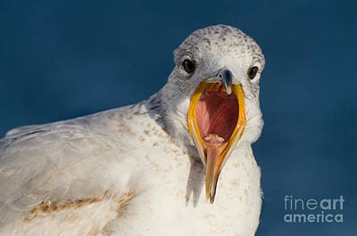Photograph - Squawking Ring-billed Gull Close Up by Gerda Grice