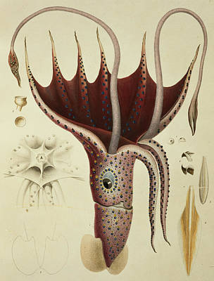Sealife Painting - Squid by A Chazal