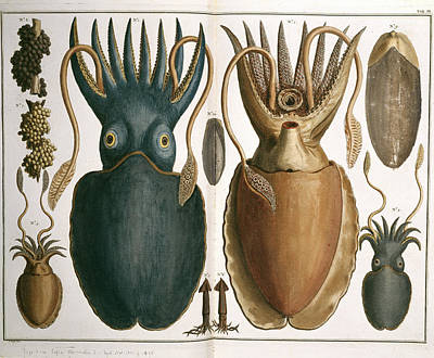 Squid Art Print by Natural History Museum, London