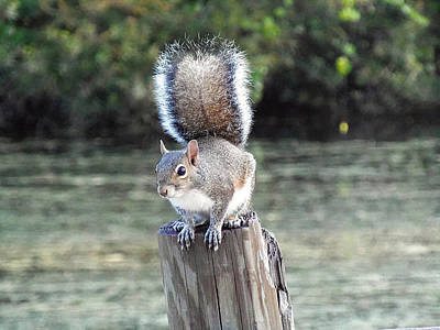 Art Print featuring the photograph Squirrel 035 by Chris Mercer