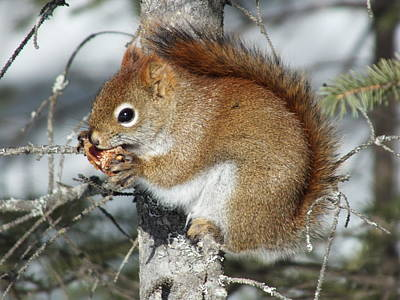 Photograph - Squirrel 1 by Gene Cyr