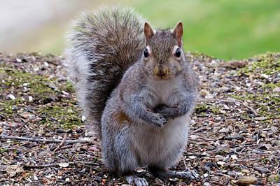 Squirrel  Original
