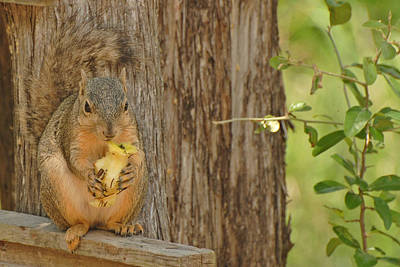 Photograph - Squirrel And Apple by Susan D Moody
