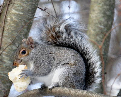 Photograph - Squirrel And His Lunch  by Caroline Stella