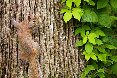 Photograph - Squirrel And Tree by Melinda Fawver
