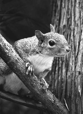 Squirrel Black And White Art Print by Sandi OReilly