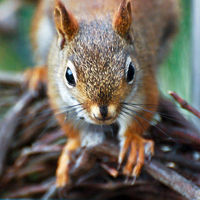 Photograph - Squirrel Close-up by Kerri Farley