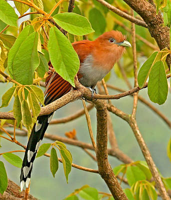 Photograph - Squirrel Cuckoo In Costa Rica by Peggy Collins