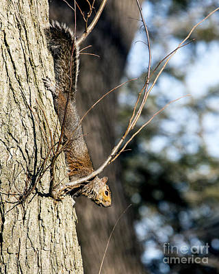 Venice Beach Bungalow - Squirrel descending tree by Lance Theroux