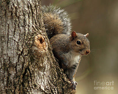 Squirrel Art Print by Douglas Stucky