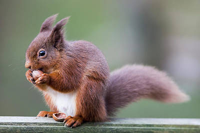 Squirrel Eating An Acorn  Cumbria Art Print by John Short